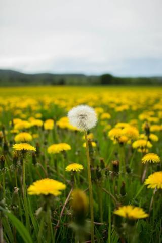 a single seadhead in a field of yellow dandelions